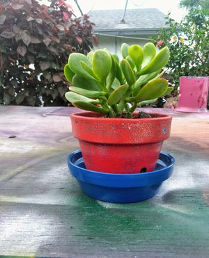 Jade plant for Sale in Palm Springs, FL