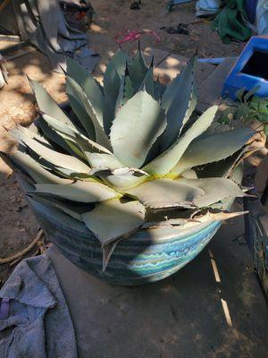 Artichoke agave medium size for Sale in Visalia, CA