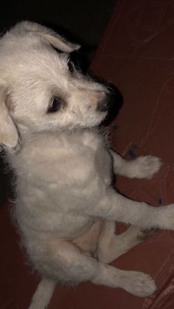 Free White Puppy ! for Sale in Orosi,  CA