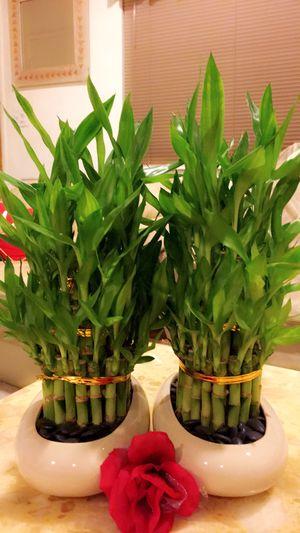 Lucky Bamboo - $13 each for Sale in Garden Grove, CA