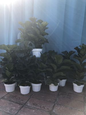 Little Sunshine mini fiddle leaf fig tree for Sale in Covina, CA