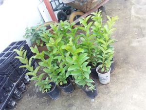 Guava trees for Sale in Fresno, CA