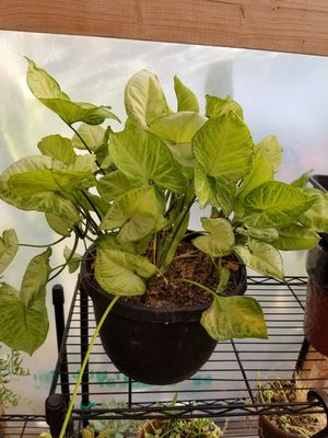 Syngonium plant on a large pot! for Sale in Rockwall, TX