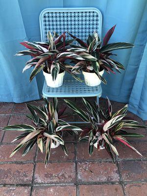Stromanthe Triostar Calathea for Sale in Azusa, CA