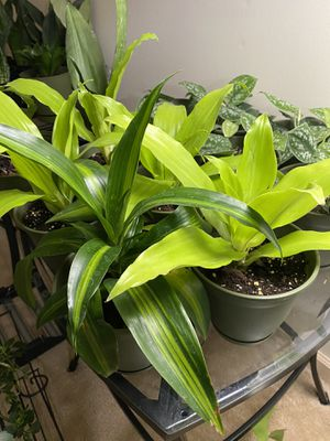 Dracaena Plants for Sale in Cleveland, OH