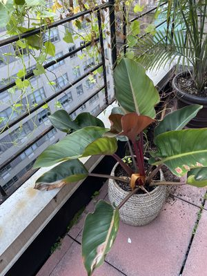 Tropical house plant in pot for Sale in New York, NY