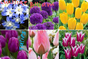 Tulips,allium and luciliae bulbs$2 each for Sale in St. Louis, MO