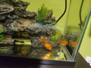 Free goldfish have 4 for Sale in North Las Vegas, NV