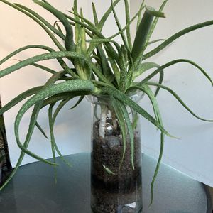 Large Glass Vase With Multiple Healthy Aloe Plants for Sale in Henderson, NV