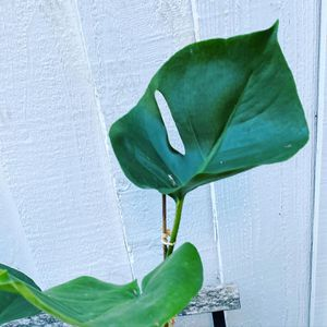 Philodendron Monstera plant for Sale in Fremont, CA