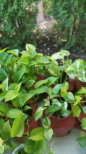 Pothos for Sale in Cleveland, OH