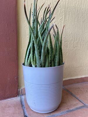 Aloe succulents plants patio summer for Sale in Miami, FL