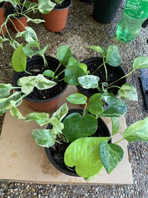 Money plants/ivy (4kinds in 1 pot) for Sale in Plano, TX