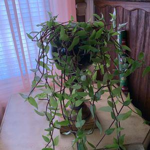 Planta Colgante for Sale in Dallas, TX