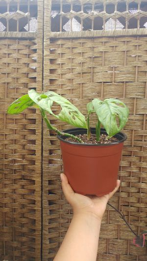 """Monstera Adansonii Plant """"Swiss Cheese"""" for Sale in Westminster, CA"""