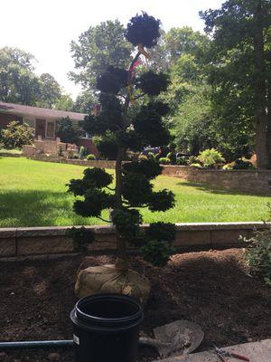 Japanese Topiary Very Rare for Sale in Alexandria, VA
