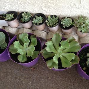 Succulents plants for Sale in Orlando, FL