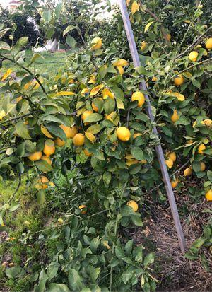 Limones todos por 10$ for Sale in Dinuba, CA