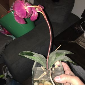 Fake Orchid Plant for Sale in Fresno, CA