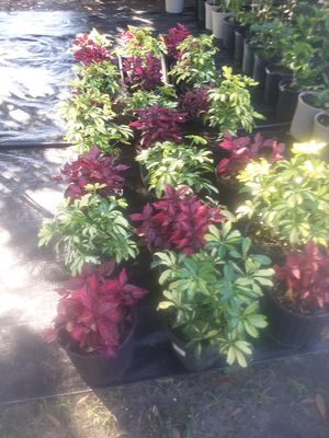 Plants Rose for Sale in Avon Park, FL