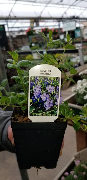 Vinca Minor also known as Periwinkle ground cover for Sale in Puyallup, WA