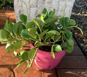 Peperomia Plant Clay Pot Planter for Sale in South Miami, FL