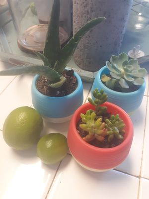 3 mini pots. Real succulents w proper d.r.ainage wholes . Pick up only for Sale in Reedley, CA