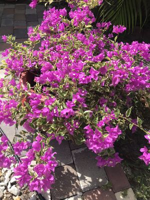 BOUGAINVILLEA plants with pot for Sale in Kissimmee, FL