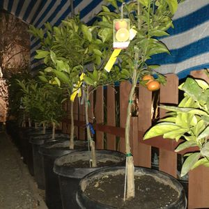 Fruit trees Arboles Frutales for Sale in Riverside, CA