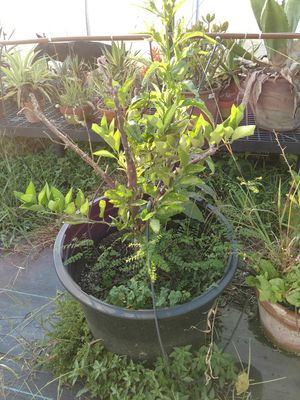 Plants Free citrus trees for Sale in Hillsborough, NC