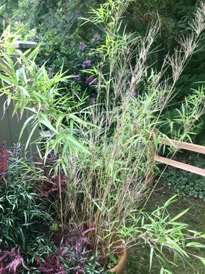Bamboo plant for Sale in Kirkland, WA