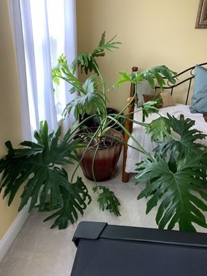 Philodendron - Hope Selloum for Sale in Bowie, MD