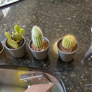 Set Of 3 Cacti Succulent Plant for Sale in Washington, DC