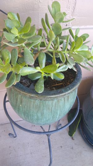 Jade plant with stand for Sale in Manteca, CA