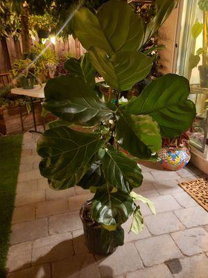 Fiddle-leaf for Sale in Santa Clara, CA