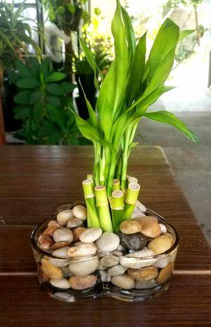 Bamboo for Sale in Pico Rivera, CA
