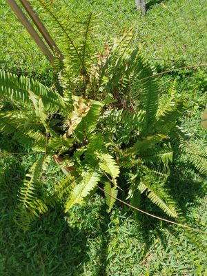Ferns for sale for Sale in Kissimmee, FL