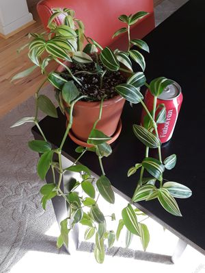 Potted Variegated Wandering Jew for Sale in Hillsboro, OR