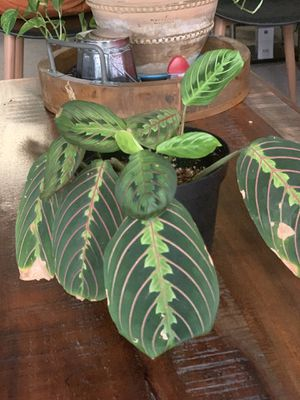 Red Maranta Prayer Plant for Sale in Kirkland, WA