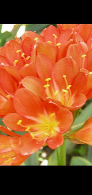 Plantas de flor naranja for Sale in Rialto, CA