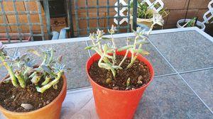 Succulent plant for Sale in Avondale, AZ