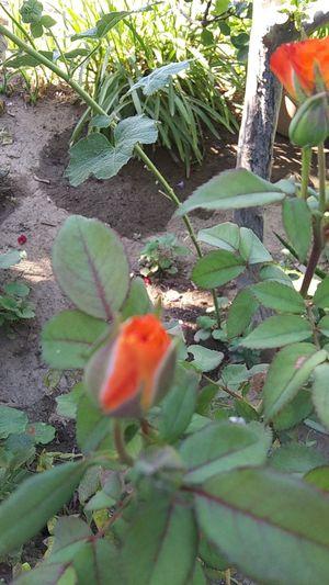 Succulent with 4tone orange rose bush for Sale in Fresno, CA