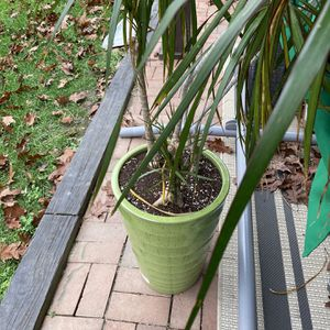 Dragon Tree With Pot, Dracaena Draco Plant for Sale in Gaithersburg, MD