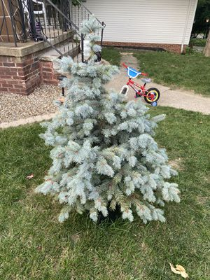 Blue Colorado Tree for Sale in Parma, OH
