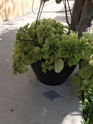 Planta 🌱 de sombra en Pacoima ca for Sale in Los Angeles, CA