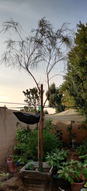 Shade Tree-24 gallon for Sale in Chandler, AZ