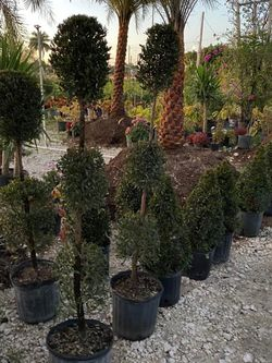 🌳EUGENIA TOPIARY SALE! $25.00 3 Gl for Sale in Miami,  FL