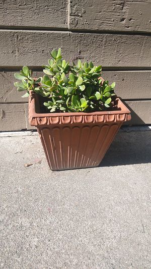 Jade plant for Sale in Manteca, CA