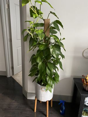 Talk healthy plant for Sale in Raleigh, NC