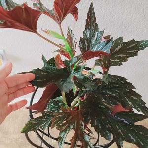 """Begonia Aconitifolia Angel Wing Included Brown Ceramic Pot 6"""" for Sale in Costa Mesa, CA"""